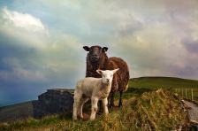 Sheep in the Burren